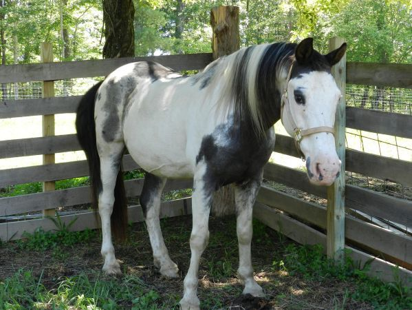 This Horse Is For Sale In Tennessee On Craigslist So Pretty Horses Quarter Horse Equines