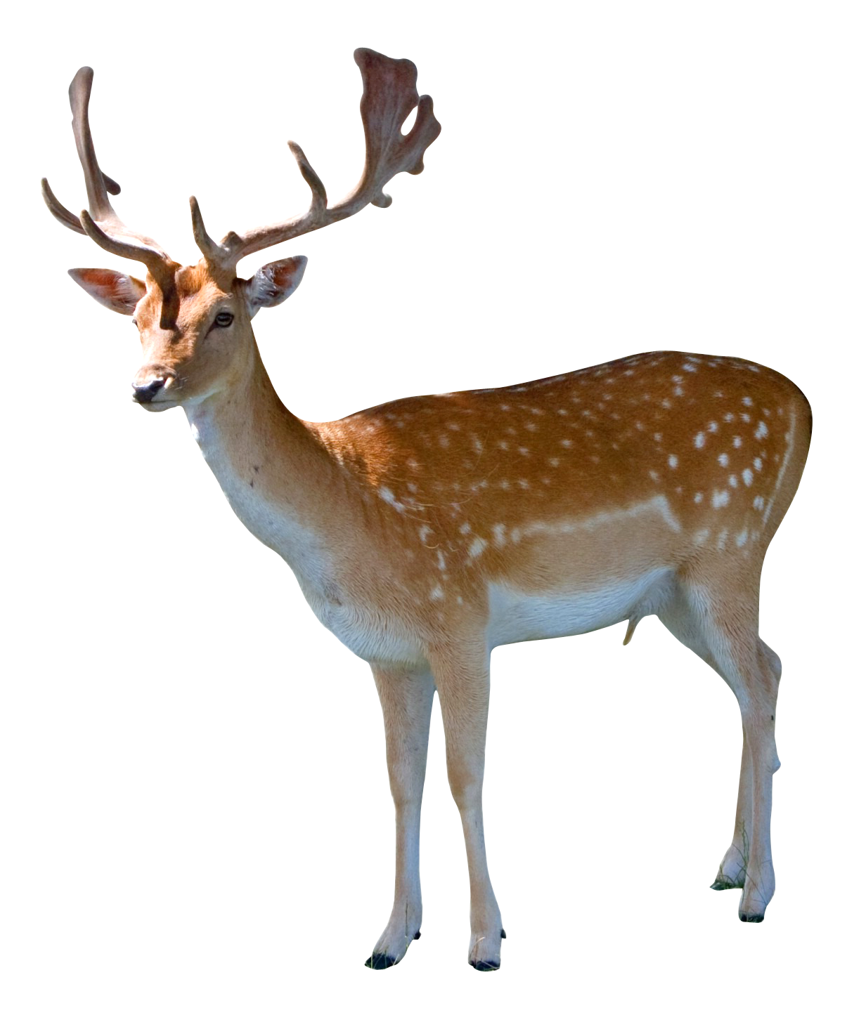 Deer Png Image Deer Animals Png