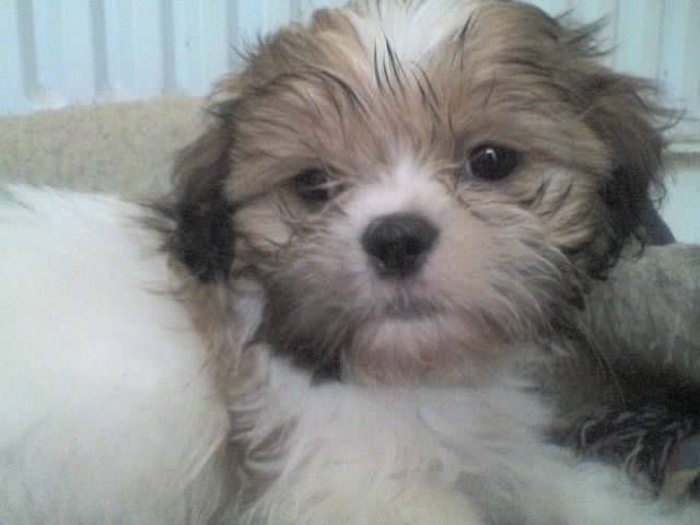 Shih Tzu Rescue Adoption Shih Tzu Puppies For Sale For Sale Adoption From Stratford England Shih Tzu Puppy Puppies For Sale Shih Tzu