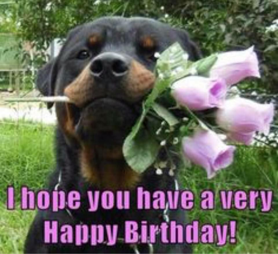 Rottweiler With Bouquet Of Pink Roses In Mouth Rottweiler