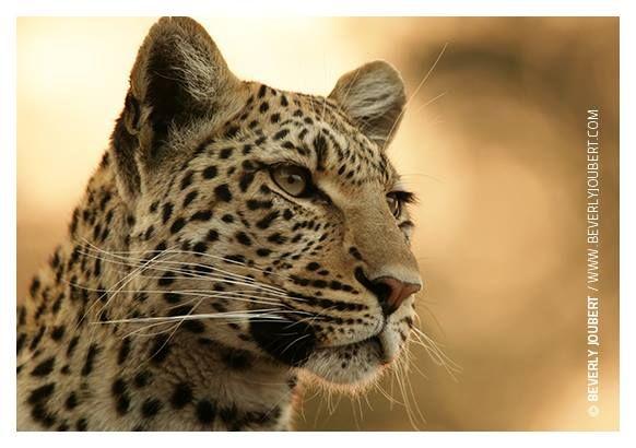 #Bigcats podrá ser una de las causas de conservación beneficiadas por sus fotografías. ¡Ayúdanos a darle voz a más especies, inscríbete ahora!   http://bit.ly/planetaphoto.   Image de Beverly Joubert