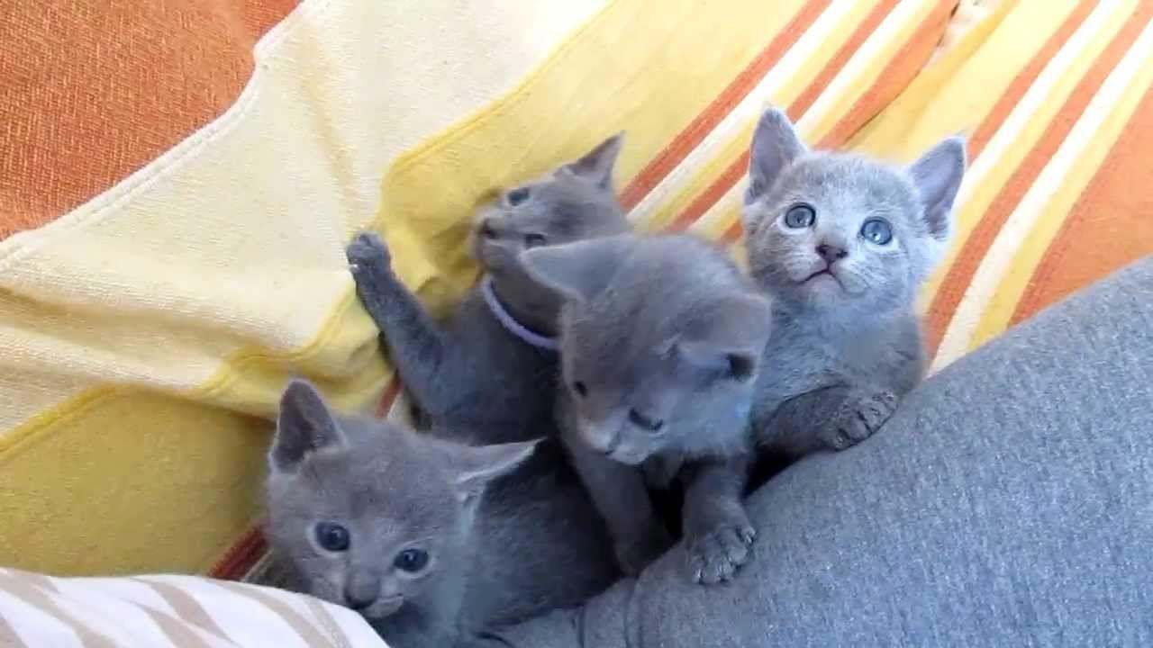 Russian Blue Kittens Youtube Russian Blue Kitten Russian Blue Russian Blue Cat