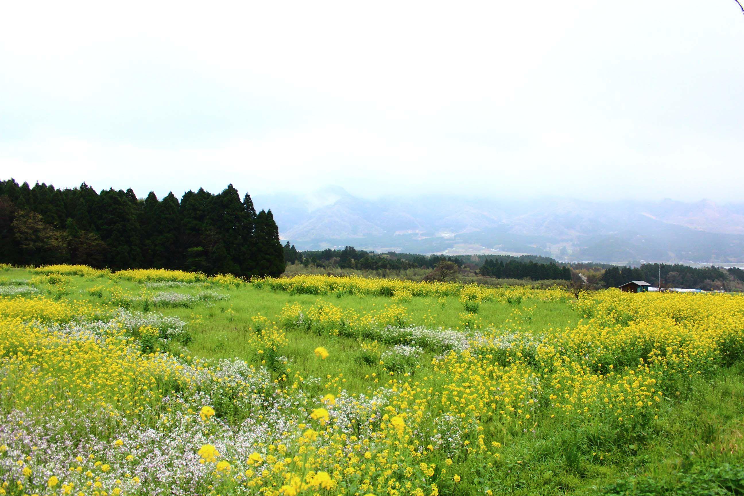 #熊本県 #南阿蘇 菜の花がたくさん咲いていた。今はどうなっているのだろう。。。
