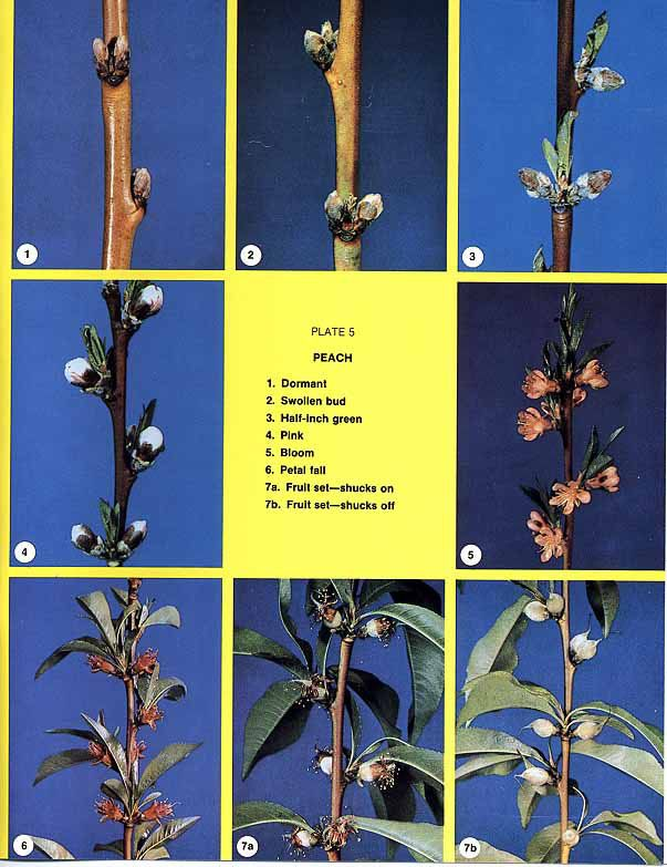 Commercial Growers Extension Clemson University South Carolina Tree Buds Peach Trees Fruit Trees