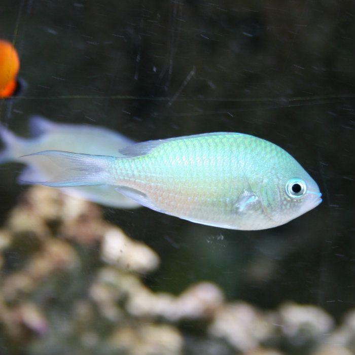 Blue Green Chromis Green Blue Green Saltwater Aquarium