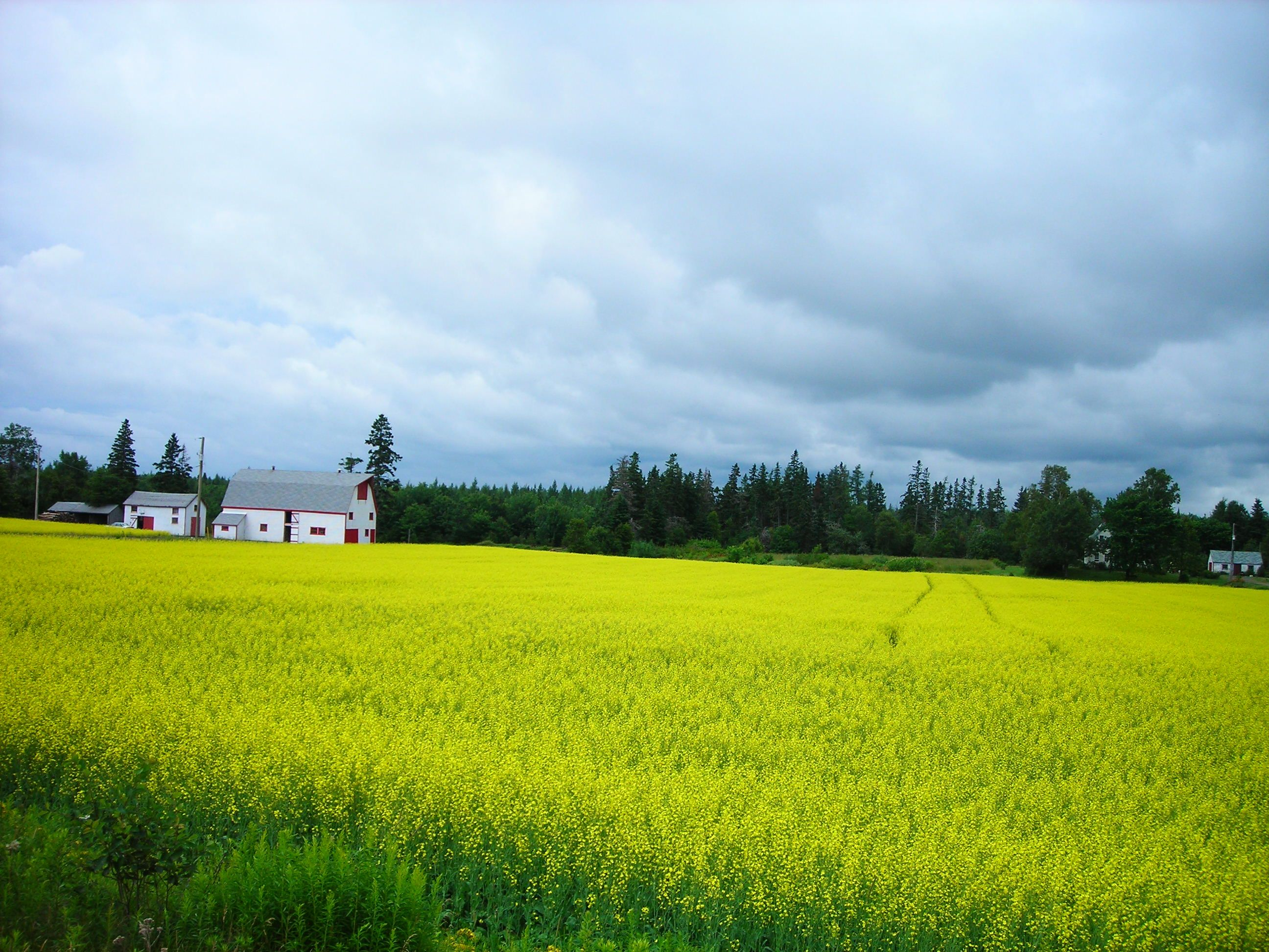 field of canola, Prince Edward Island, July, 2008