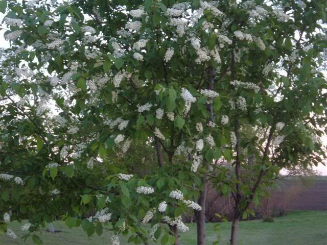 Chokecherry Red Canada Green Leaf While In Bloom Then Leaves Turn Purple Chokecherry Tree Chokecherry Growing Grapes