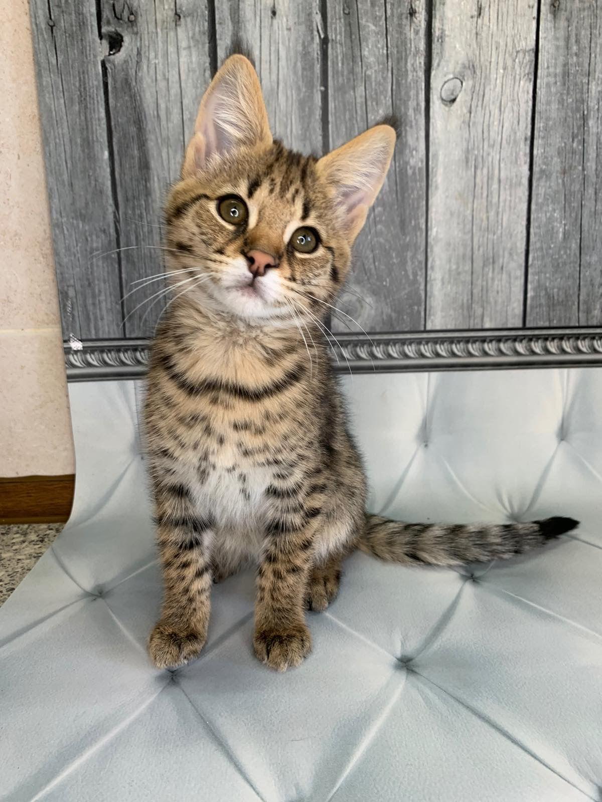 F1 Savannah Kitten In 2020 Savannah Kitten Cat Breeder Savannah Cat
