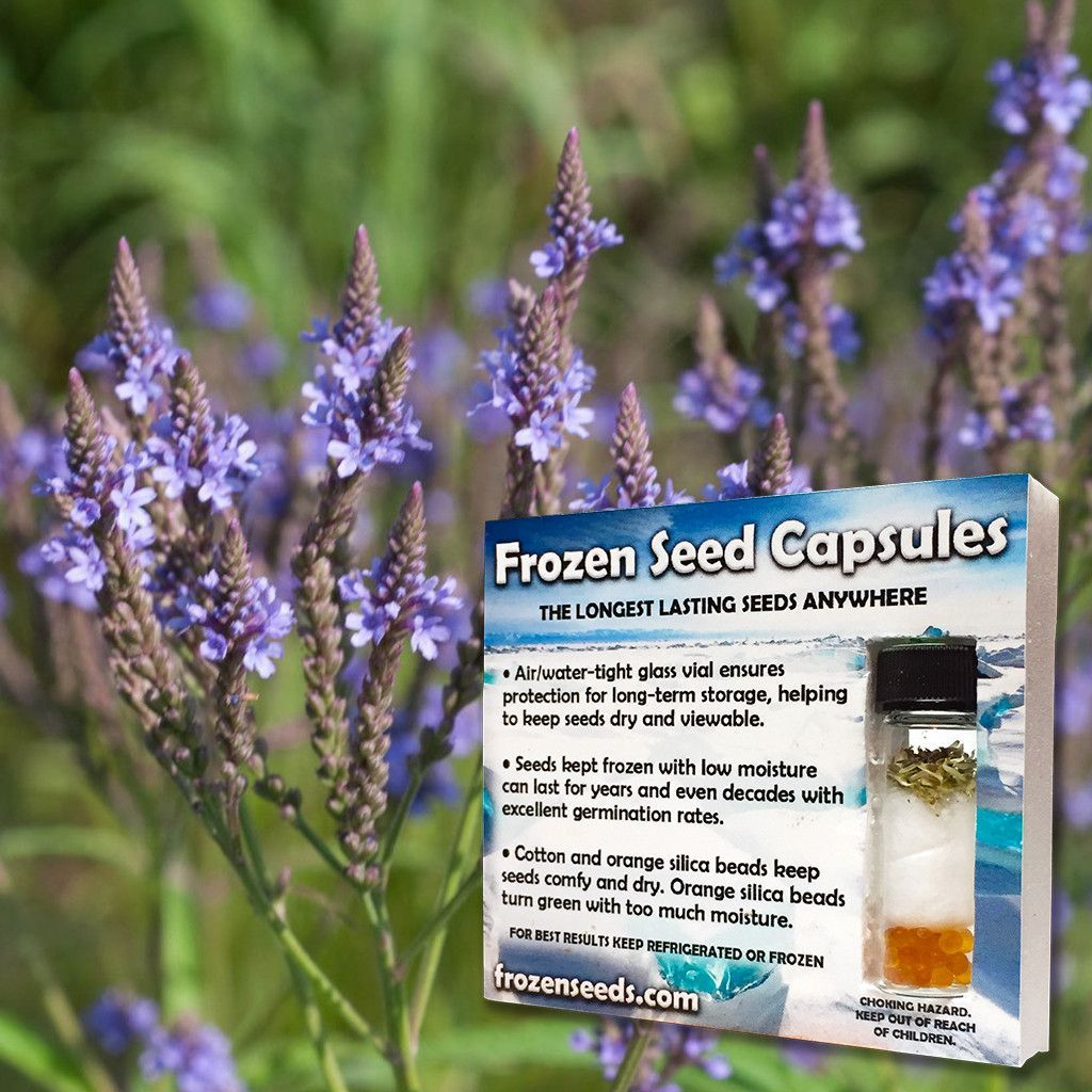 Blue Vervain Seeds (Verbena hastata) | Products | Seeds, Verbena