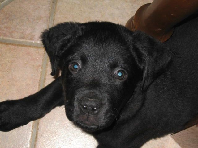 Hunter At 6 Weeks Black Lab Cane Corso Italian Mastiff Mix
