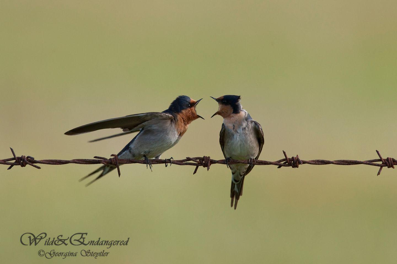 welcome swallows hirundo neoxena lake mclarty wa australian