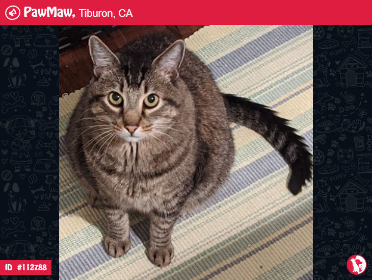 Romeo A Male Cat Lost In Tiburon Ca Tabby Cat Cats Losing A Dog