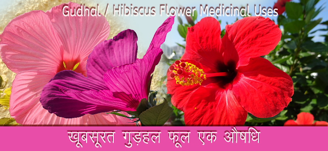 गडहल फल औषध Gudhal Hibiscus Leaves In Hindi