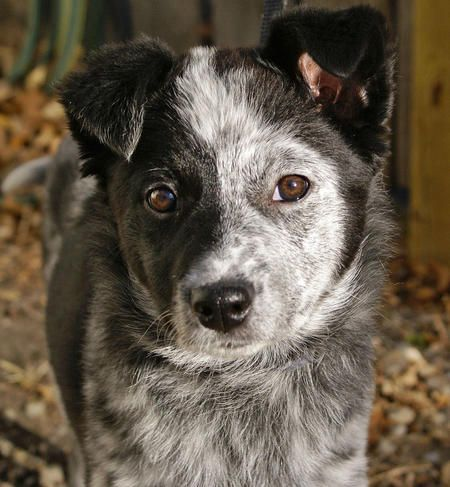 Bonzai The Mixed Breed Cattle Dog I Love Dogs Mixed Breed