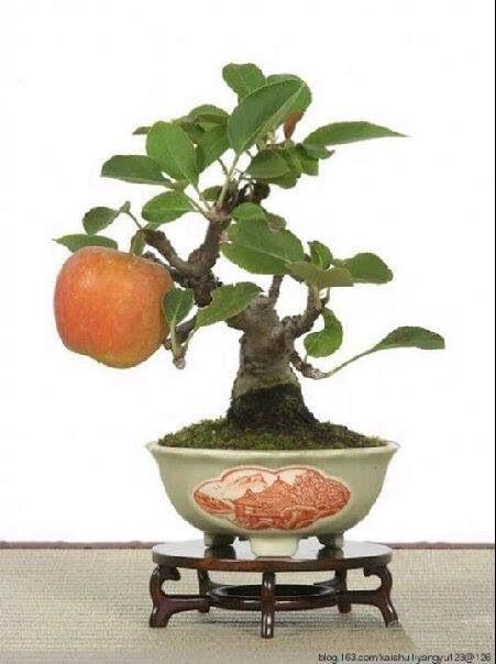 Bonsai bonsai frutti bonsai esterno for Alberelli da esterno