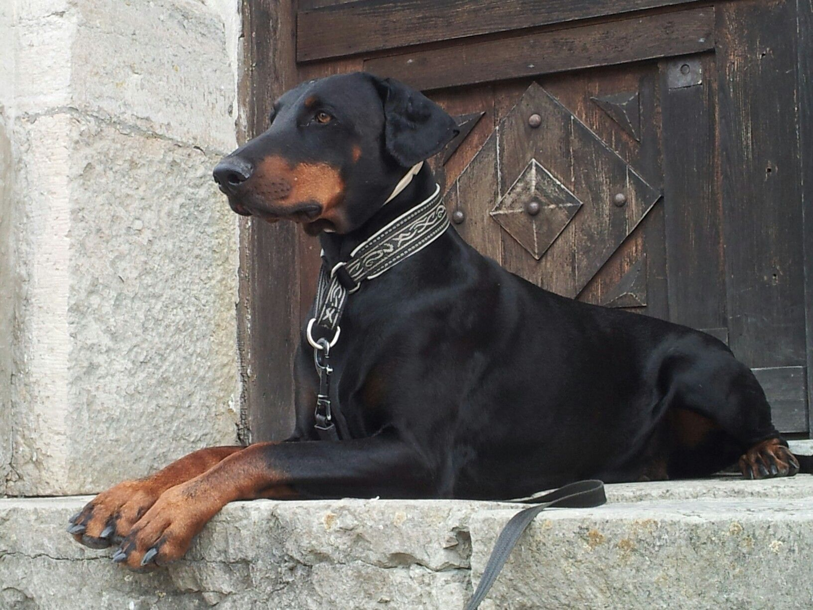 Doberman Pinscher Uncropped Doberman Pinscher Doberman Pinscher