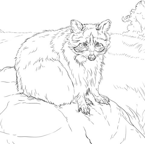 Mapache Sentado Dibujo para colorear | animales | Pinterest ...