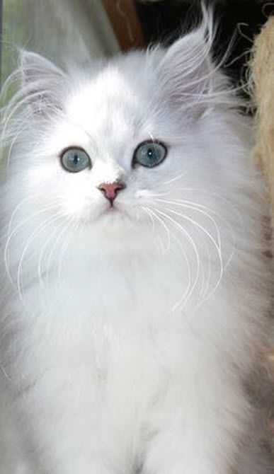 This Chinchilla Persian is a real beauty don't you think?