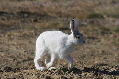 Arctic+Hare+8