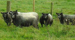Millside Farm Blue Texel Sheep In 2020