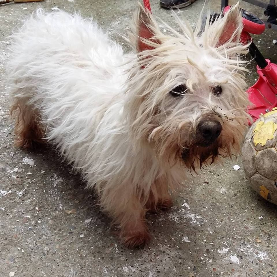 This White Highland Terrier was found straying in Queenborough, Swale, Kent, He is not micro-chipped. Please share and get in touch if you have any info. We also have some additional contact numbers for where he is currently: 01795417850 or 01795 842466.