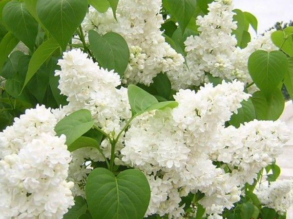 lilas blanc jardin arbuste arbre fleurs blanches   fleur
