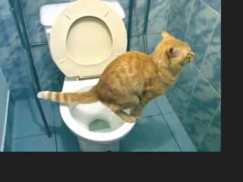 (Video) - Funny video   Funny animal Cat go to toilet - http://bit.ly/1LT6qZE
