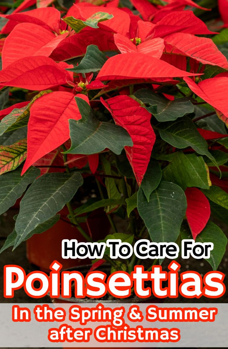 how to keep a poinsettia plant alive