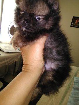 Pomeranian Puppy For Sale In Fresno Ca Adn 48411 On Puppyfinder