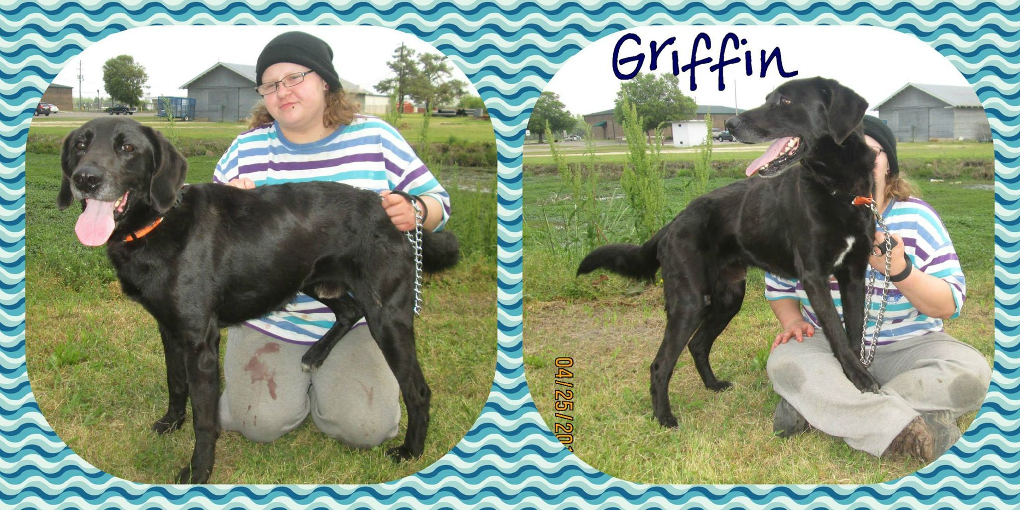 URGENT Marion County - Great LAB BOY GRIFFIN #140510 in Mullins, SC On next to be Killed due to being here the longest & overcrowding. Ok with dogs but is alpha male. No cats! - Griffin has his leg ripped open. ok with dogs but is alpha male. His best with females. No cats! ID #140510 https://pledgie.com/campaigns/25247 ID #140510 https://www.facebook.com/PawsToTheRescueAtMarionCountyAnimalShelter/photos/a.181901978588650.34200.181656871946494/527193204059524/?type=3&theater