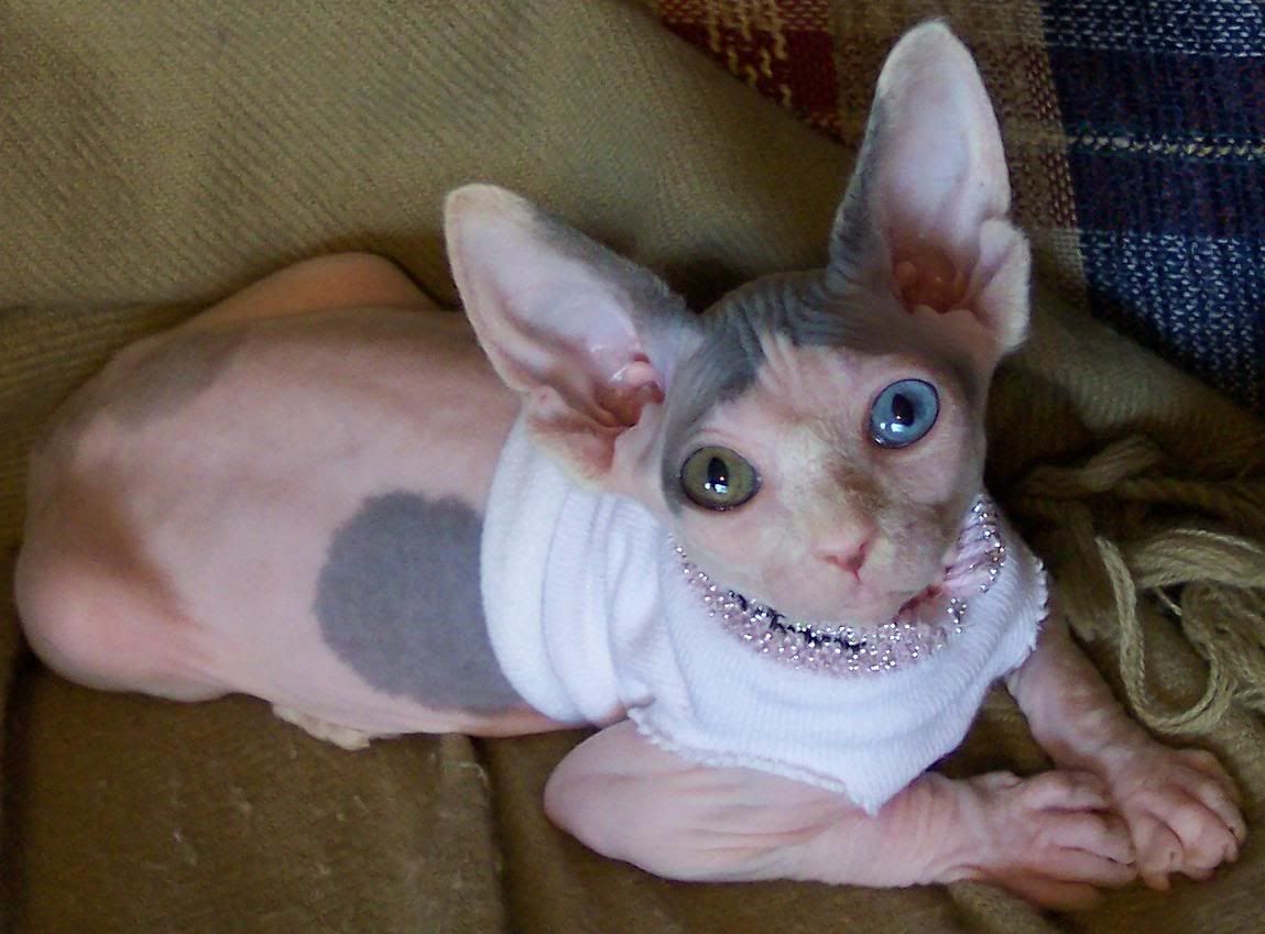 i want a hairless odd eye. they are the cutest.   sfinx ...