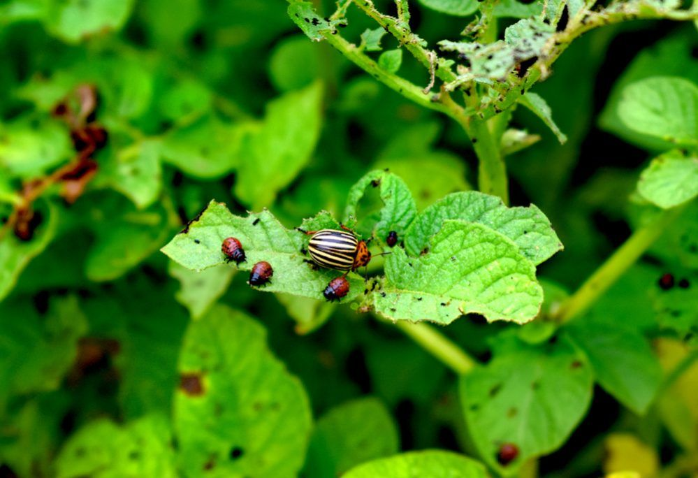 f578e8d6d47a2274dc4bd64e346b794b - How To Get Rid Of Flea Beetles On Potato Plants