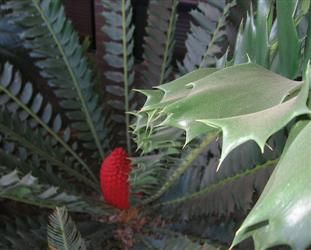 "Encephalartos ferox is one of the most beautiful and interesting African cycads, featuring bright red cones and glossy leaves with sharp lobes. Also known as the ""Holly Leaf Cycad"", Encephalartos ferox grows along the coastline of South Africa and Mozambique, often in pure sand. The species name ""ferox"" is Latin for ""ferocious"", due to its thorny leaves.    it does best growing in part shade. Encephalartos ferox does require excellent drainage and enjoys deep sandy soil…"