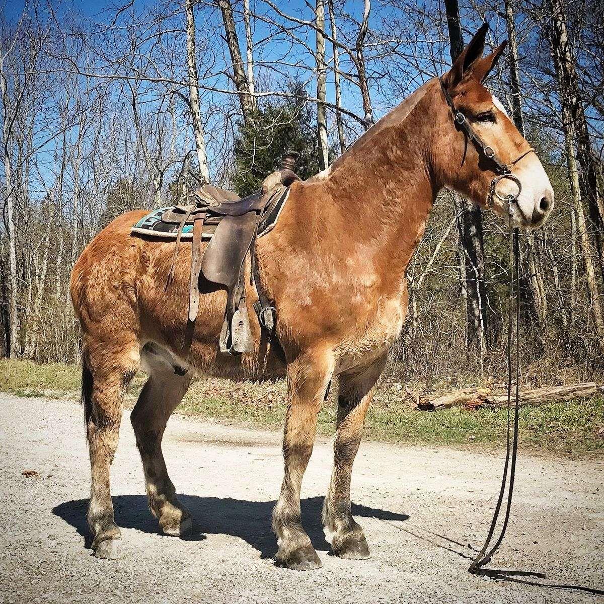 Tom. Belgian draft mule for sale. Must
