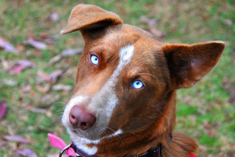 Kelpie Dog Rescue Qld