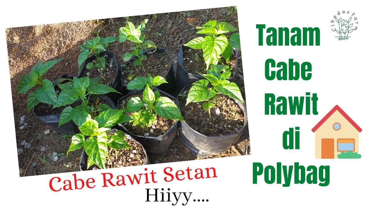 Cara Budidaya Tanaman Cabe Rawit Di Polybag