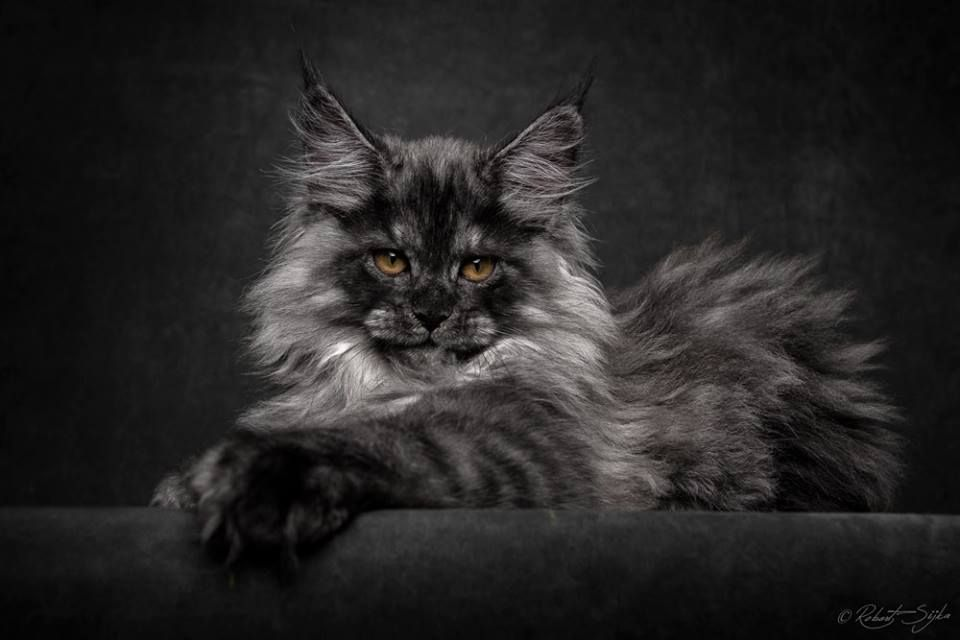 Black Smoke MC Kitten Oti-cami Cattery