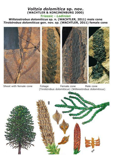 Le scoperte di Michael Wachtler conifera preistorica 230 milioni di anni fa era ampiamente diffusa nel sud delle Alpi.