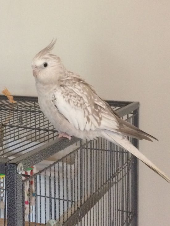 Beautiful Pearl Faced-Cinnamon atiel with large cage for sale ...