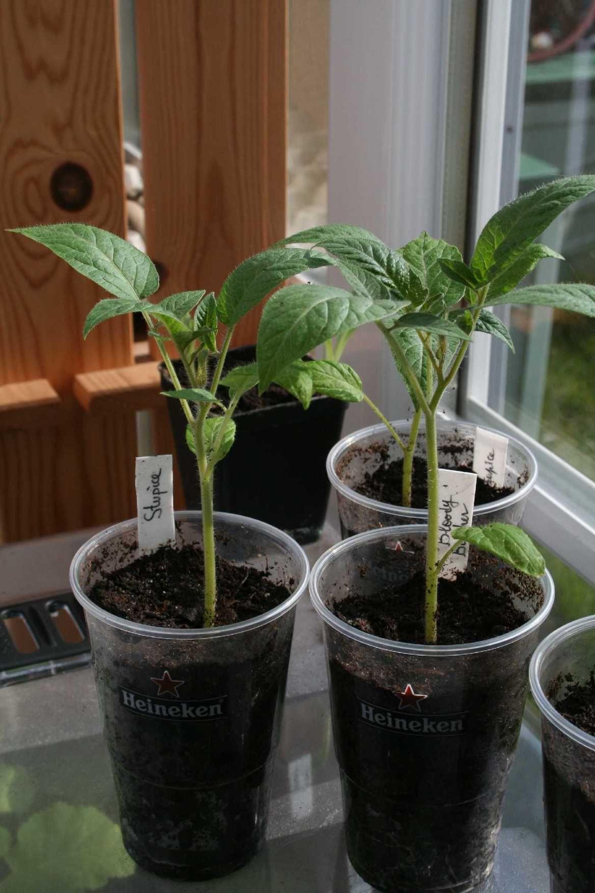 Semis précoces de tomates Semis tomates, Jardinage en