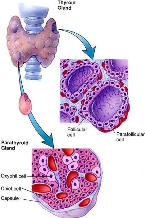 Thyroid Gland Pictures Anatomy Google Search Anatomy Pinterest