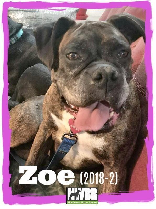 Boxer dog for Adoption in Woodinville, WA. ADN806245 on