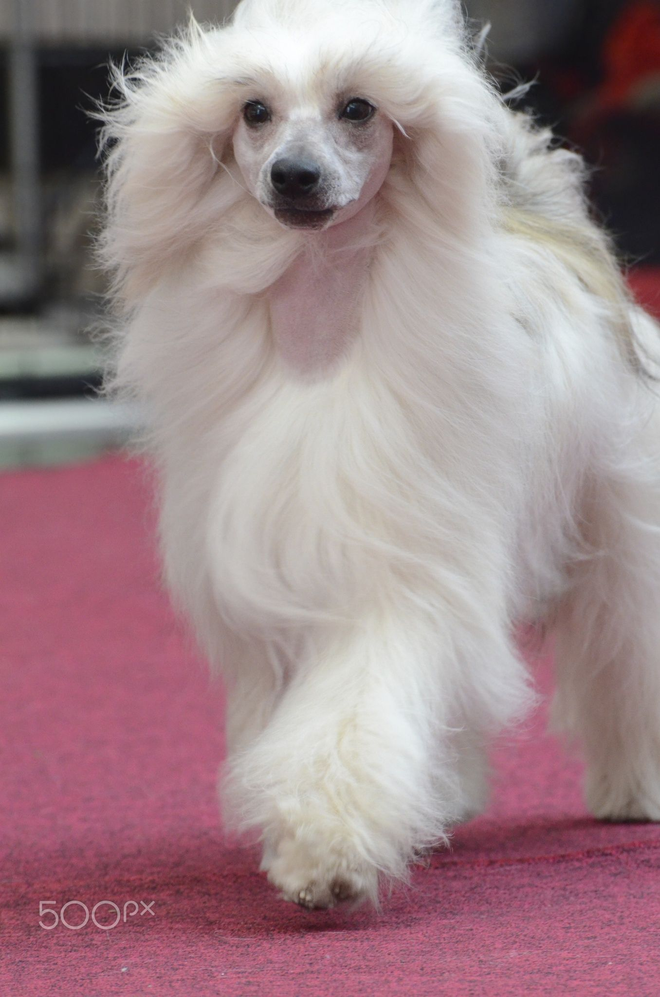 Chinese Crested powderpuff Dog Chinese Crested Dog can