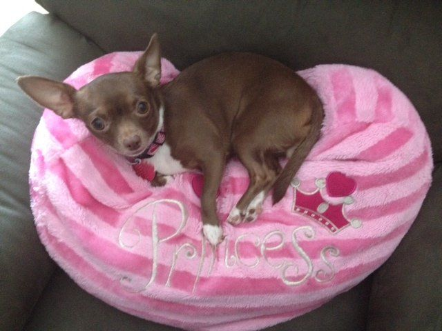 Meet Mimi The 3 Year Old Chihuahua Voted Dfws Cutest Pet Www