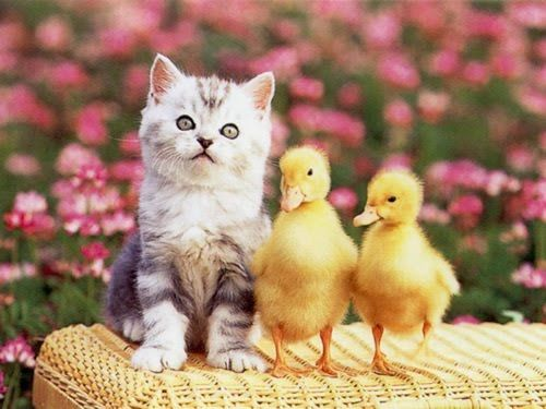 Cat And Two Chicks