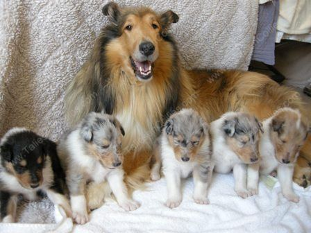 Beautiful Litter Of Pups Rough Collie Puppy Puppy Litter Rough Collie