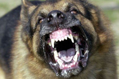 Angry Dog Dangerous Dogs Aggressive Dog Breeds Dogs