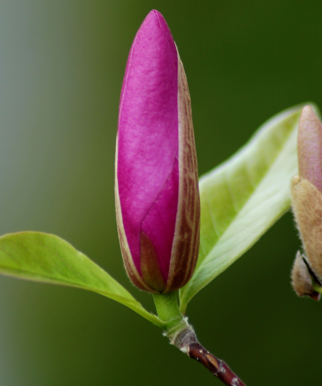 looking for a small magnolia magnolia arbre et fleur