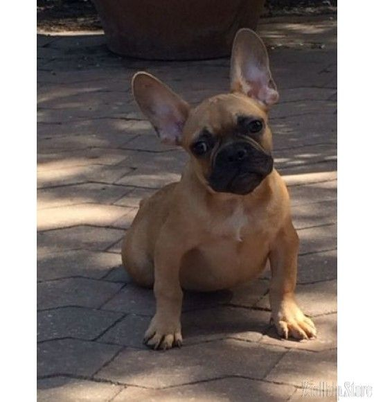 French Bulldog In Massachusetts French Bulldog Puppies For Sale
