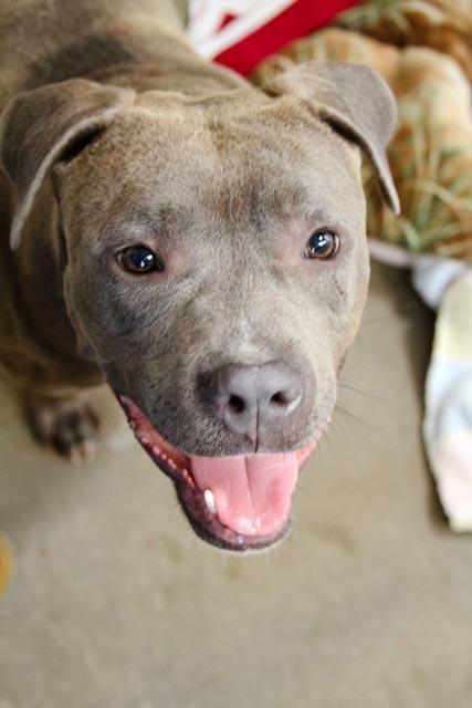 Adopt Romeo Sponsored On Humane Society Pitbull Terrier Pitbulls